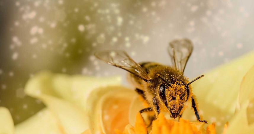 荷蘭瓦赫寧恩大學生物研究所發現可以使用蜜蜂來辨別新冠病毒。(示意圖/pixabay)