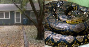 女子慘遭「世界最長蛇」勒斃 陳屍空屋內身旁佈滿140條蛇