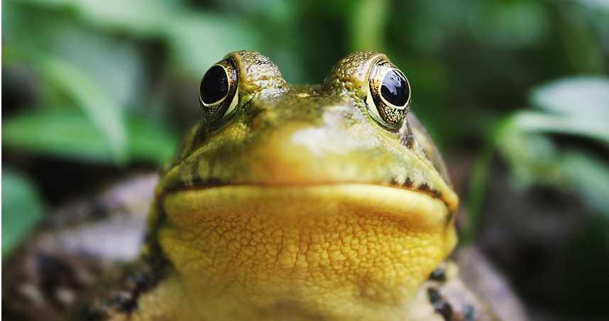 男為滋補強身誤信偏方活吞5隻青蛙 慘染寄生蟲高燒好幾天