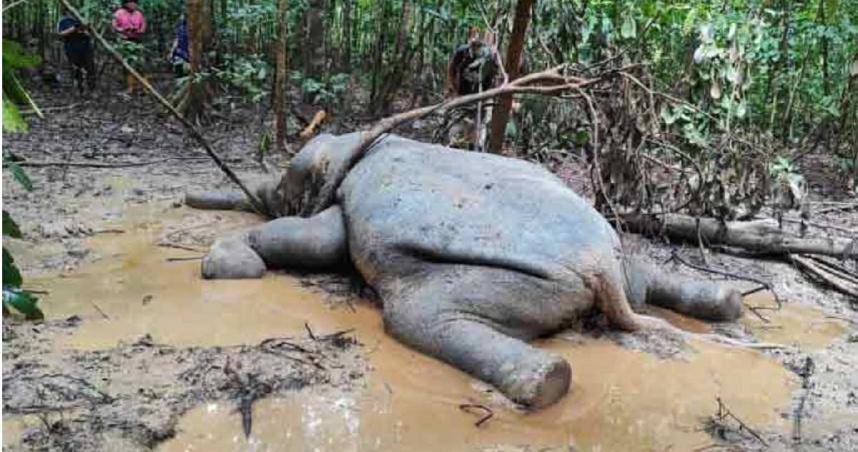 多年來小矮象離奇身亡 沙巴環境部長拿督:體內檢驗到鎘