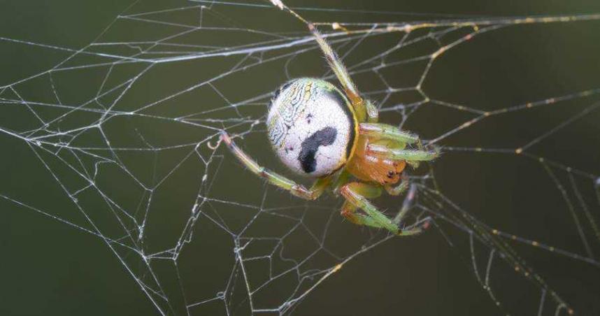 蜘蛛背後浮「翹鬍人臉」!網吐爆「不敢再吃洋芋片」 內行揭真相