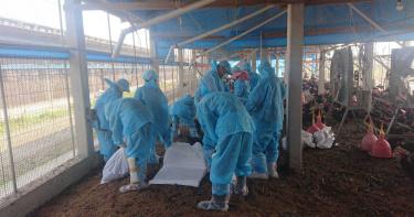 氣候炎熱家禽免疫力下降!彰化大城雞隻染「H5N5禽流感」 9556隻土雞被撲殺
