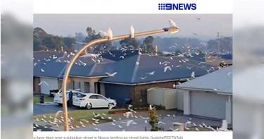 社區遭白色鸚鵡佔領 「嘎嘎叫聲震天響」網友:看就知道一定很吵