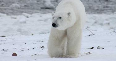 遊客亂扔玩具!北極熊誤食倒地喪命 動物園心痛發聲
