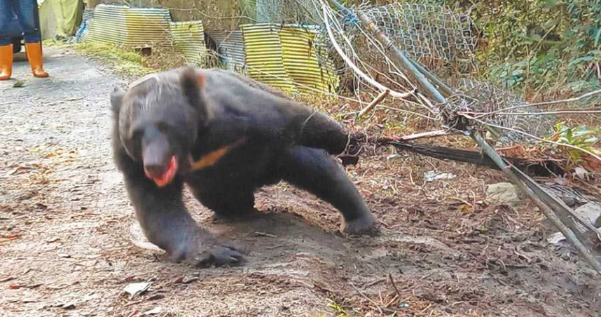 防山豬傷到熊 台灣黑熊受困果園掙扎20小時
