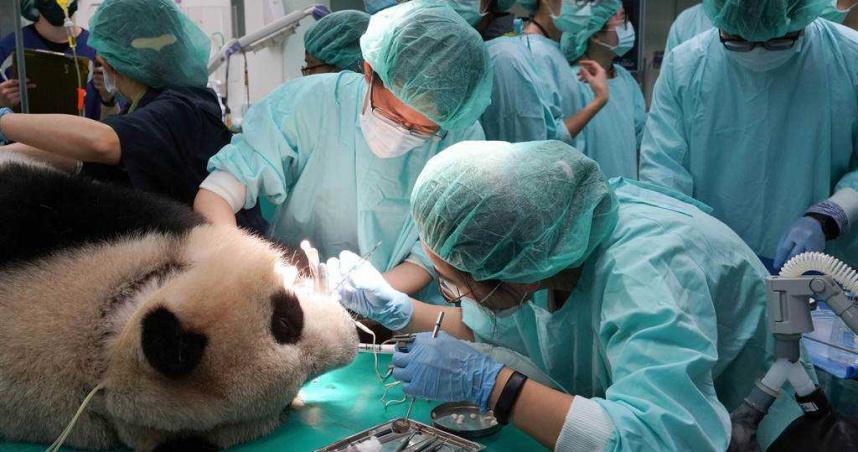 大貓熊圓仔牙冠斷 獸醫急做根管治療
