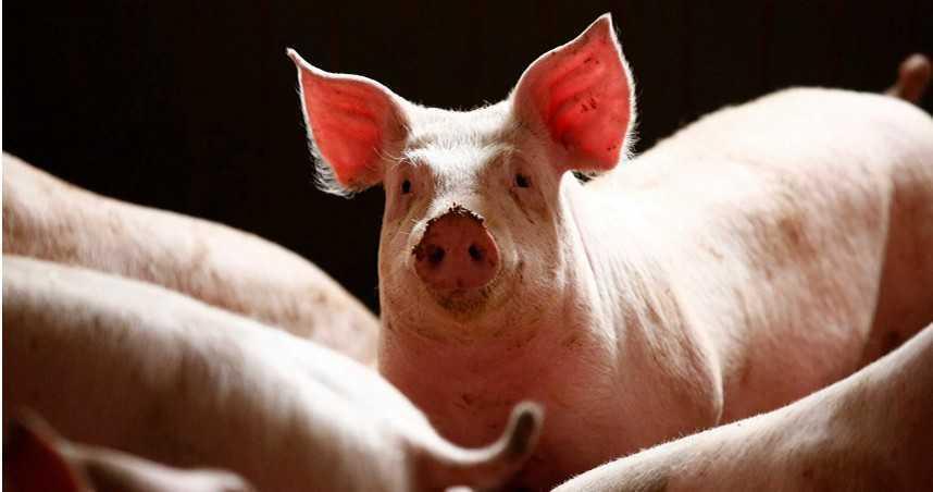 廚師手上有傷口!「切生豬肉」慘高燒狂嘔 罹罕病險喪失聽力