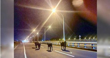 牛群併排橋上逛大街!女警當起牧童順利驅離牛隻