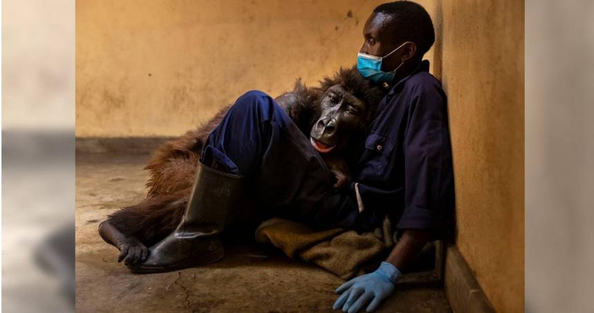 全球「最會自拍大猩猩」病逝 保育員懷中嚥下最後一口氣…催淚照曝