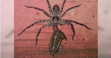 廁所驚見「巨型獵人蛛」!黑暗中眼冒恐怖金光…鏡頭下吞噬青蛙