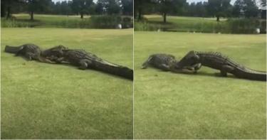 2米長巨鱷互打! 「半個頭被咬住了」搏鬥長達2小時