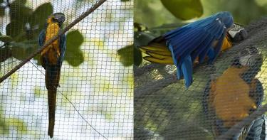 里約熱內盧唯一野生藍黃金剛鸚鵡 20年來日日飛到動物園「尋找真愛」
