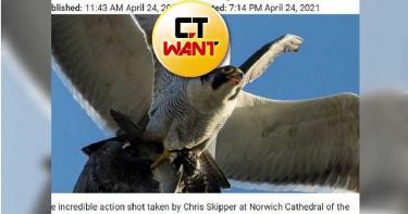 游隼捕獲獵物回巢 半途遭餓壞海鷗空中打劫