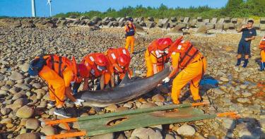 後龍半天寮沙灘驚見弗氏海豚屍體 專家:實屬罕見