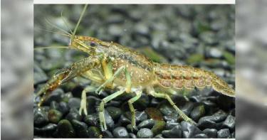 進擊的螯蝦1/大理石紋螯蝦兵團入侵都市之肺 無限自我複製狙殺螢火蟲