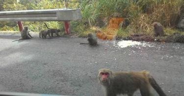 太平山遊樂區獼猴出沒恐「搶食傷人」!籲遊客勿餵食防「疱疹B病毒感染」