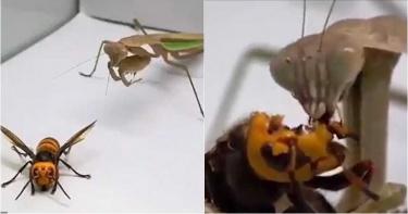 虎頭蜂PK螳螂誰厲害? 500萬人直擊「牠」腦被啃光