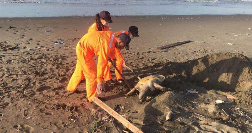 海灘發現綠蠵龜無生命跡象 海巡官兵為牠掩埋安葬