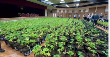調查局破獲市值5億大麻 1608植株創緝毒史紀錄