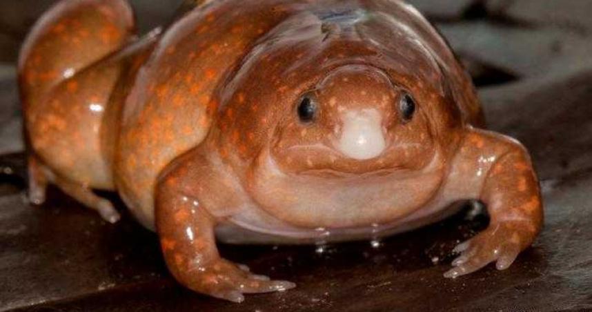 亞馬遜雨林發現新物種「殭屍蛙」 外型奇特、終生住在土裡難尋獲