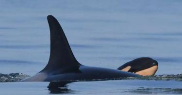 曾頂幼鯨屍體伴游17天 2年後虎鯨媽媽產下健康寶寶