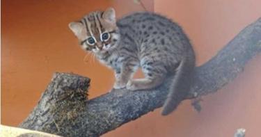 比老鼠還小 全世界最袖珍的貓咪誕生