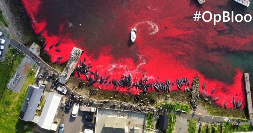 丹麥離島領地傳統儀式染紅大海 法羅群島1428隻海豚慘遭殺害