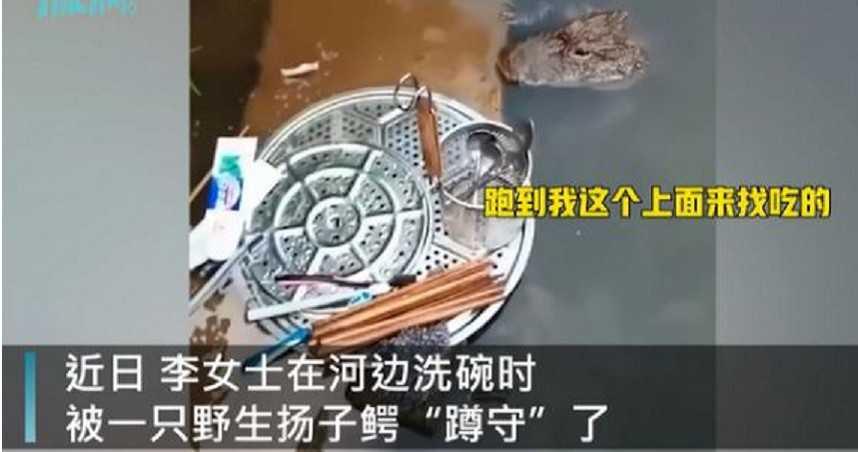 河邊洗碗遭野生揚子鱷「蹲守」 女淡定:牠沒傷過人