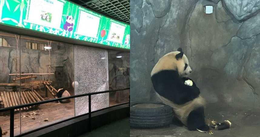 參觀動物園見熊貓太興奮 小學生竟「大力拍碎」館內玻璃