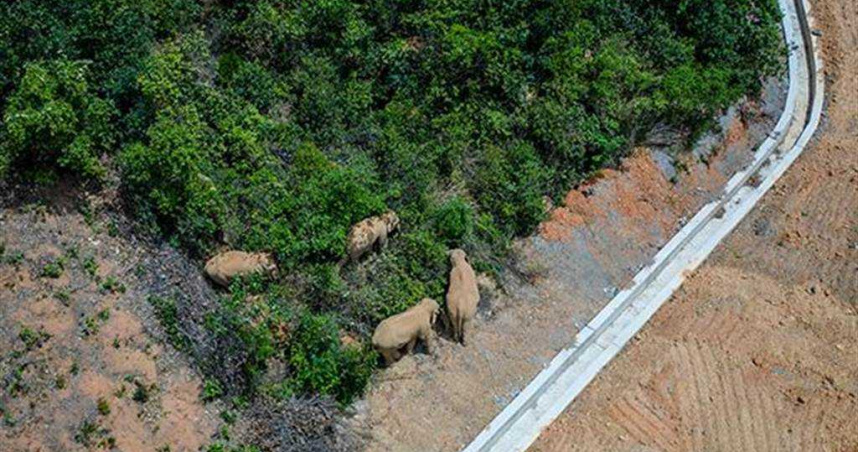 雲南亞洲象莫名一路向北 專家:地磁暴喚起其遷徙本能