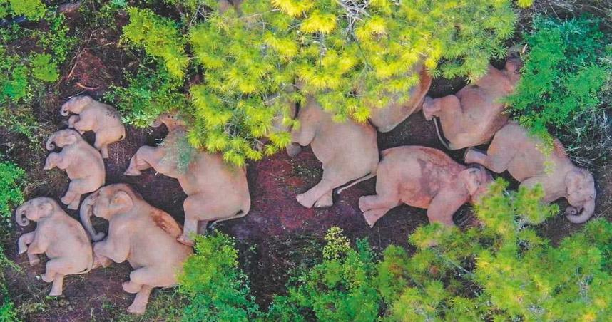 象群集體北遷 雨季紅河水位上漲「象群過不去」!專家:成功返家大約在冬季