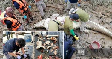 4.7米巨鱷將少年「拉入水中生吞」 剖肚後驚見衣服、人體殘骸