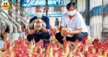 台灣奇雞1/從滯銷到一隻賣一萬元被搶光 神農父子年收14億