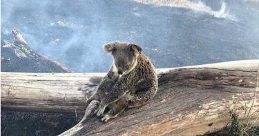 澳洲「黑色夏天」肆虐!逾6萬無尾熊傷亡 30億本土動物受衝擊