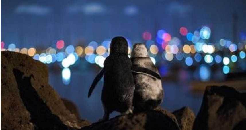 2喪偶企鵝「互相依偎」看夜景 溫馨時刻獲攝影大獎