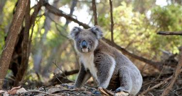 野火破壞棲息地!311頁報告提醒澳洲政府 無尾熊「2050年前恐絕種」