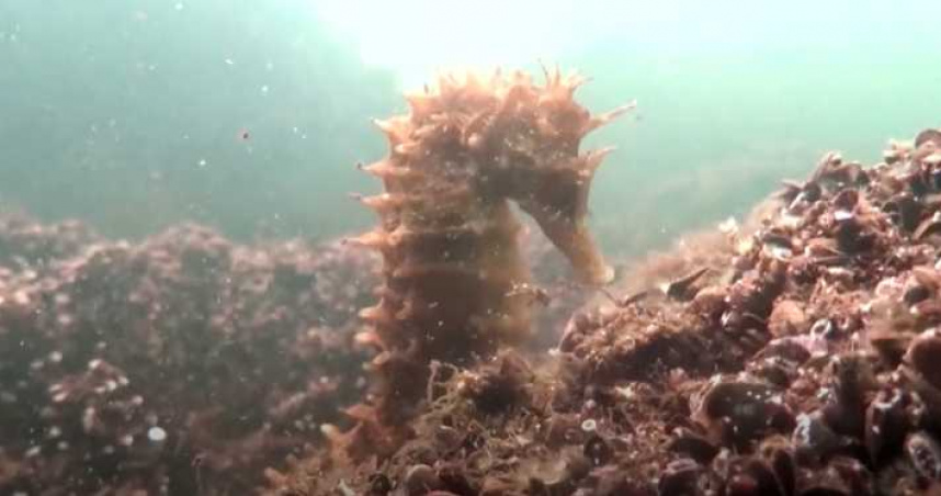 潟湖飄臭雞蛋味!專家潛入驚見瀕危海馬 呼籲盡速搶救生態
