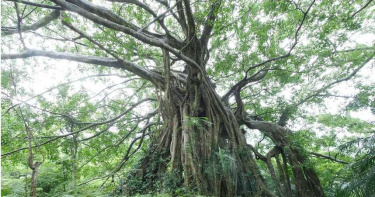 來去森林浴溫泉行!賞百年大白榕、做森林瑜珈、品香草茶飲