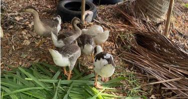 6隻「醜小鴨」失蹤 鵝主人尋「屎跡」在鴨寮活逮賊
