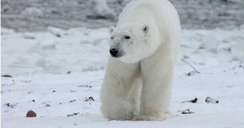 北極冰層逐漸融化 研究人員示警:北極熊「近親繁殖」增加