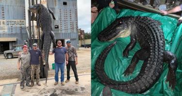 破紀錄!男抓獲該州史上最長鱷魚 堆高機也無法完全拉起