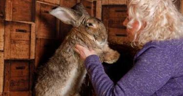 金氏紀錄巨兔「自家花園遭竊」!飼主懸賞4萬元淚求歸還