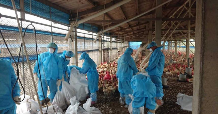 別只關注新冠肺炎! 台灣禽流感疫情連環爆 雞蛋缺貨更嚴重