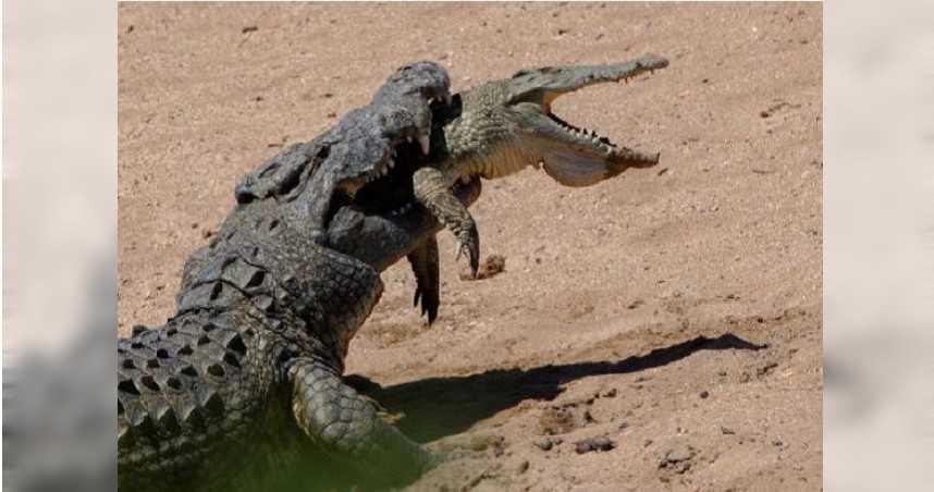 544公斤巨鱷生吞小鱷魚 攝影師拍下驚悚一幕:全程僅花1分鐘