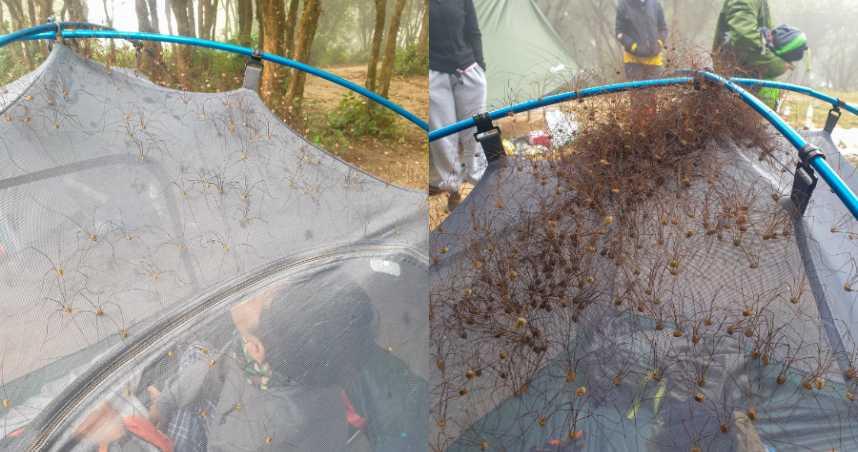 密集恐懼爆發!露營驚見上百隻「長腳生物」 包圍帳篷網全崩潰