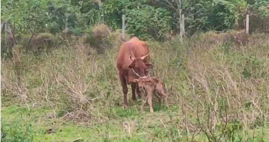 牛生氣了!台東婦人空地靠近小牛遭牛媽媽攻擊送醫