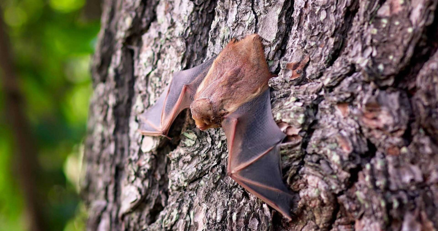 澳洲蝙蝠驗出致命病毒 當局:被抓傷立刻求醫