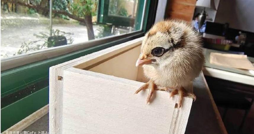 好心收留飼養小雞 事後送養驚訝發現竟是「保育類藍腹鷴」