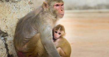 恆河猴實驗證實 新冠病毒可經眼結膜感染入侵多樣器官