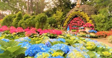 苗栗花卉農場 繡球花提早綻放、精油薰蒸足療好舒壓